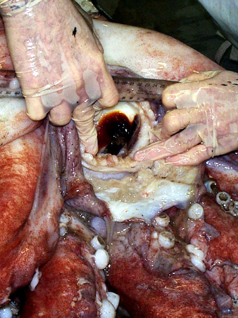 long feet colossal squid,